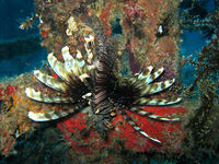 Lionfish at Boonsung Wreck Thailand Similan liveaboard diving location