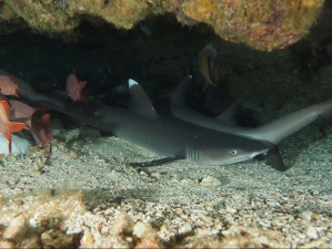 Ras Mohamed Whitetip Reef Sharks no troubles just bubbles diving
