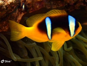 Red Sea Clownfish at Salem Express Egypt