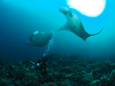 Manta Ray at Hin Daeng scuba divng liveaboard