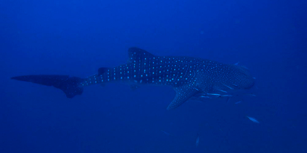 Whale Shark At Cenderawasih Bay When Liveaboard Diving
