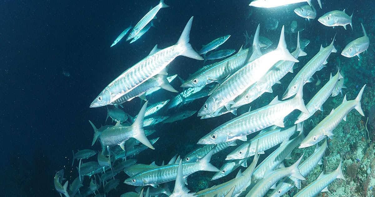 school of fish at King Cruiser Wreck