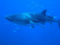 Whale Shark seen while Koh Tachai liveaboard diving Thailand
