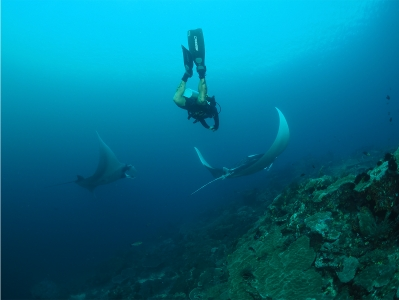 manta ray baa atoll no troubles just bubbles