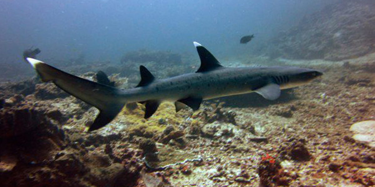 Noonu Atoll White Tip Reef Shark Liveaboard Diving