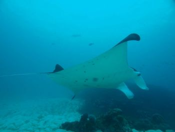 Manta Ray Manta aflredi at Richelieu Rock diving pinnacle Thailand