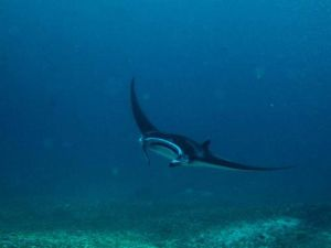 Manta Ray at The Maldives liveaboard photo by Pablo Mallegol Dahlgren