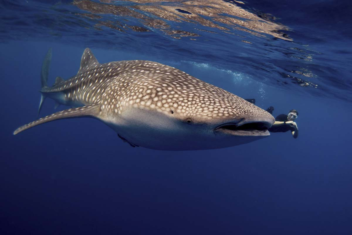 snorkelling with a Whale Shark