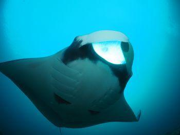 thumb Manta alfredi Manta Ray Raja Ampat Diving