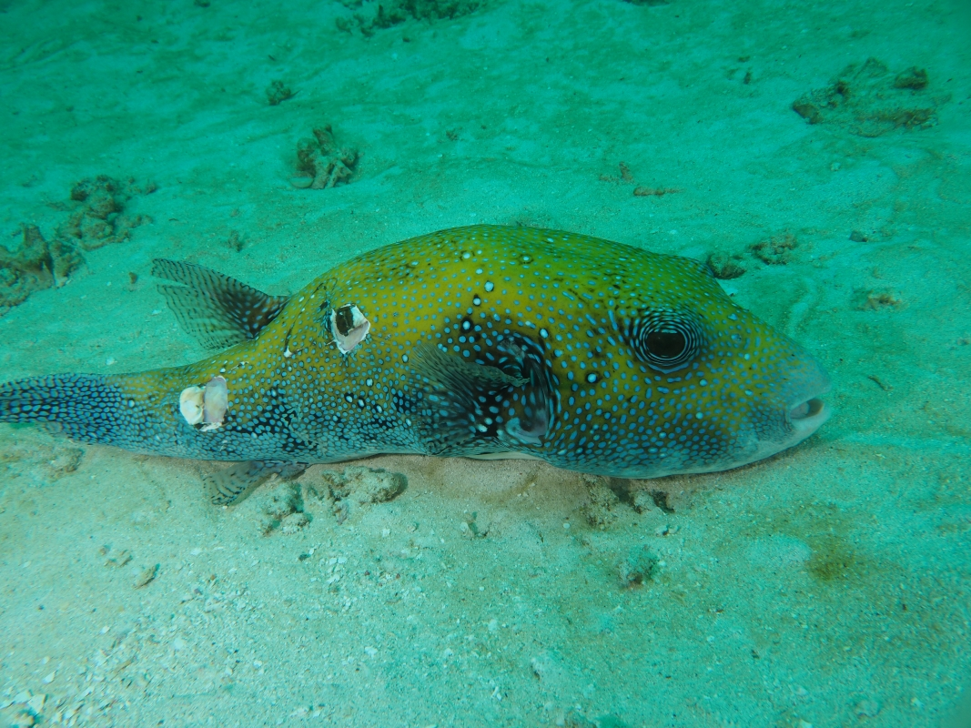 (Arothron caeruleopunctatus) Blue-Spotted Pufferfish Raja Ampat, Indonesia