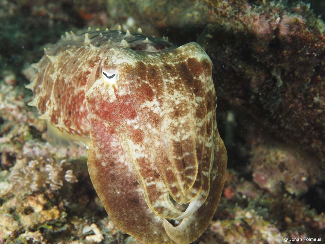 Broadclub Cuttlefish (Sepia latimanus)