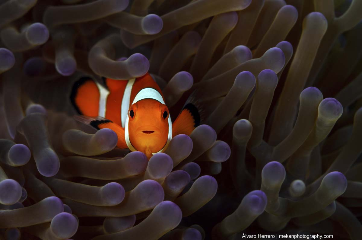 Clown Anemonefish in its anemone, which protects it from predators
