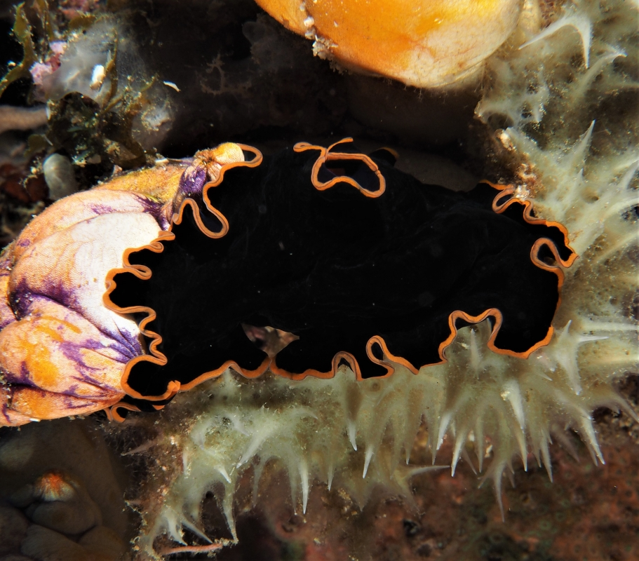 Glorious Flatworm