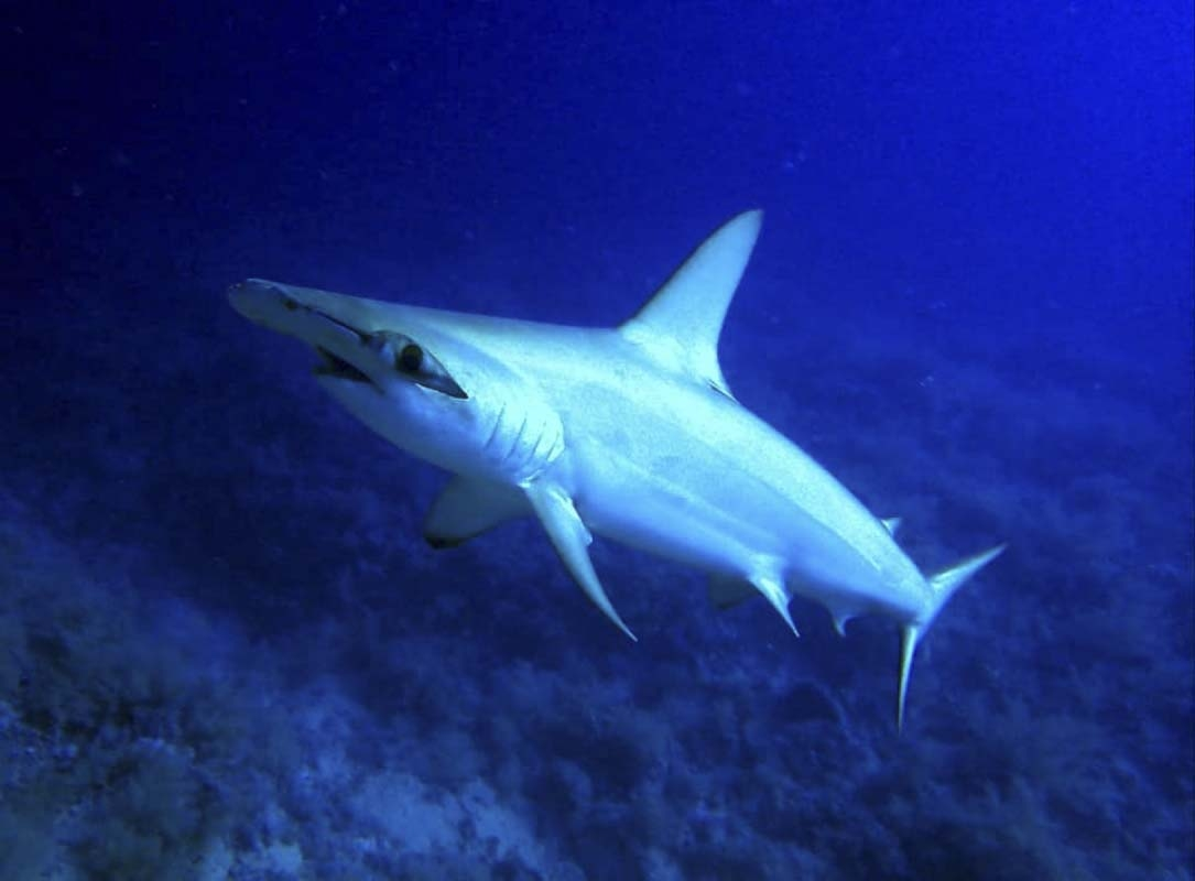 Hammerhead Shark at Big Brother, Red Sea, Egyopt
