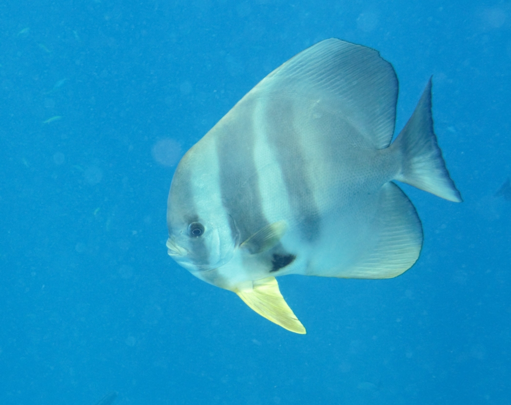 Orbicular Batfish at Similan Islands, Thailand