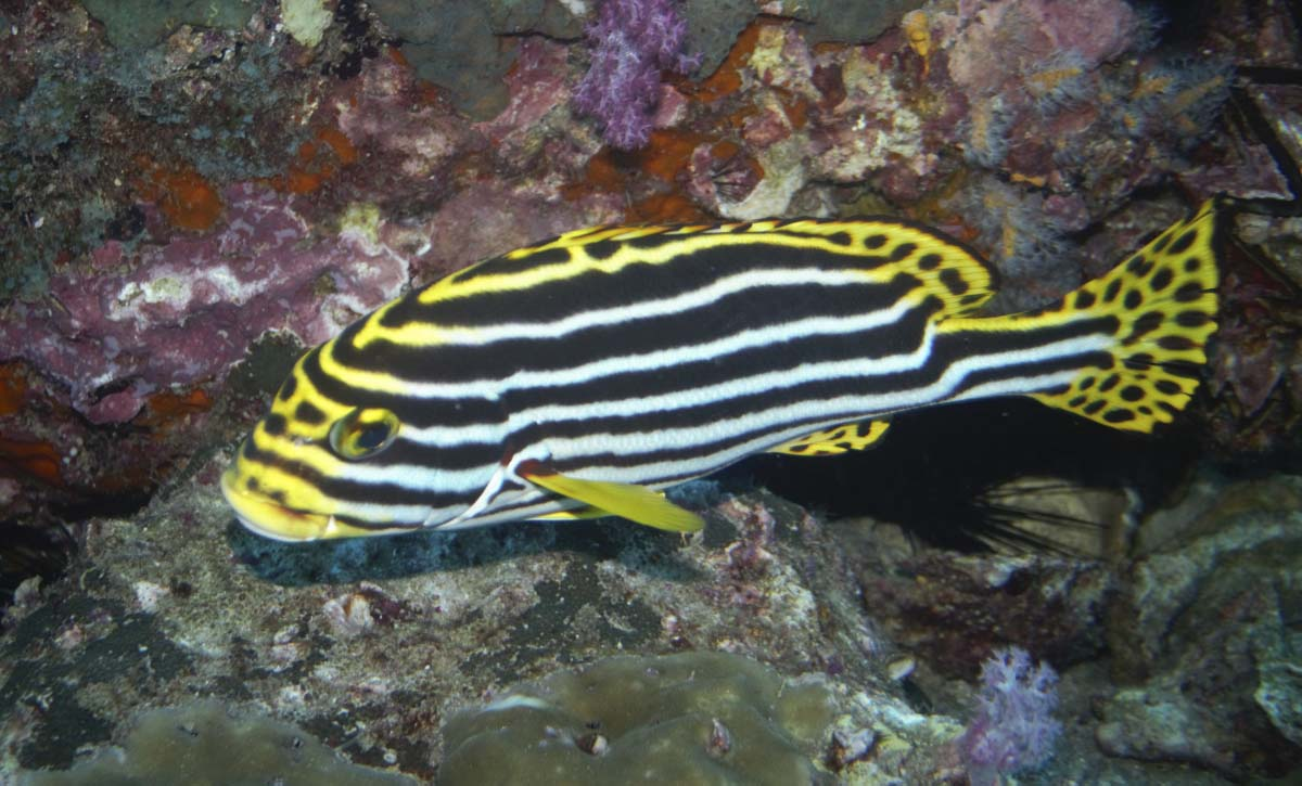 Oriental Sweetlips (Plectorhinchus vittatus) at Similan Islands, Thailand