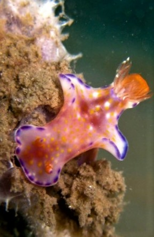 Purple-Edged Ceratosoma