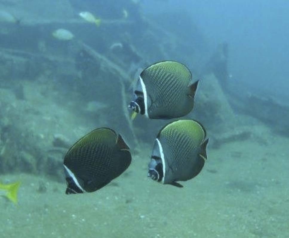 A group of Redtail Butterflyfish (Chaetodon collare) in Thailand