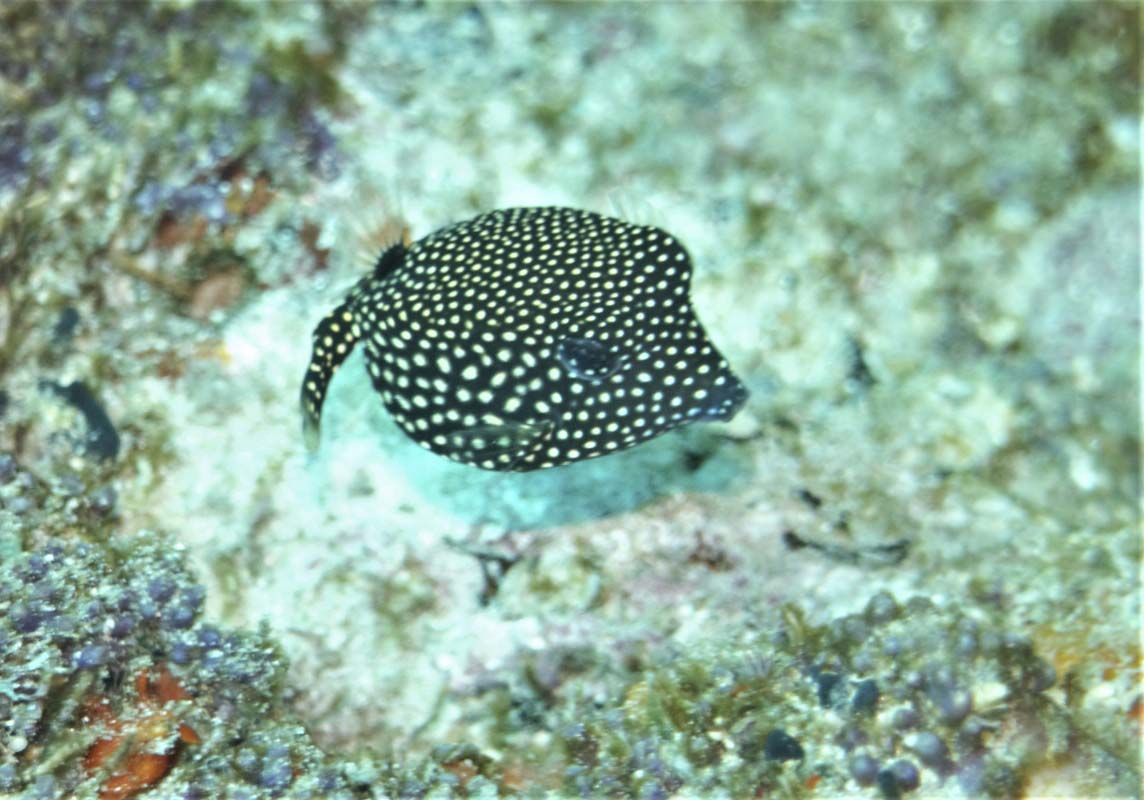 Female Spotted Boxfish (Ostracion meleagris) at The Similan Islands Thailand