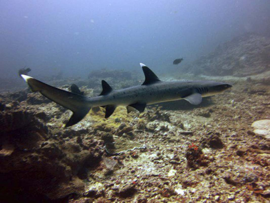 A whitetip Reef Shark swimming across the ref during the day.