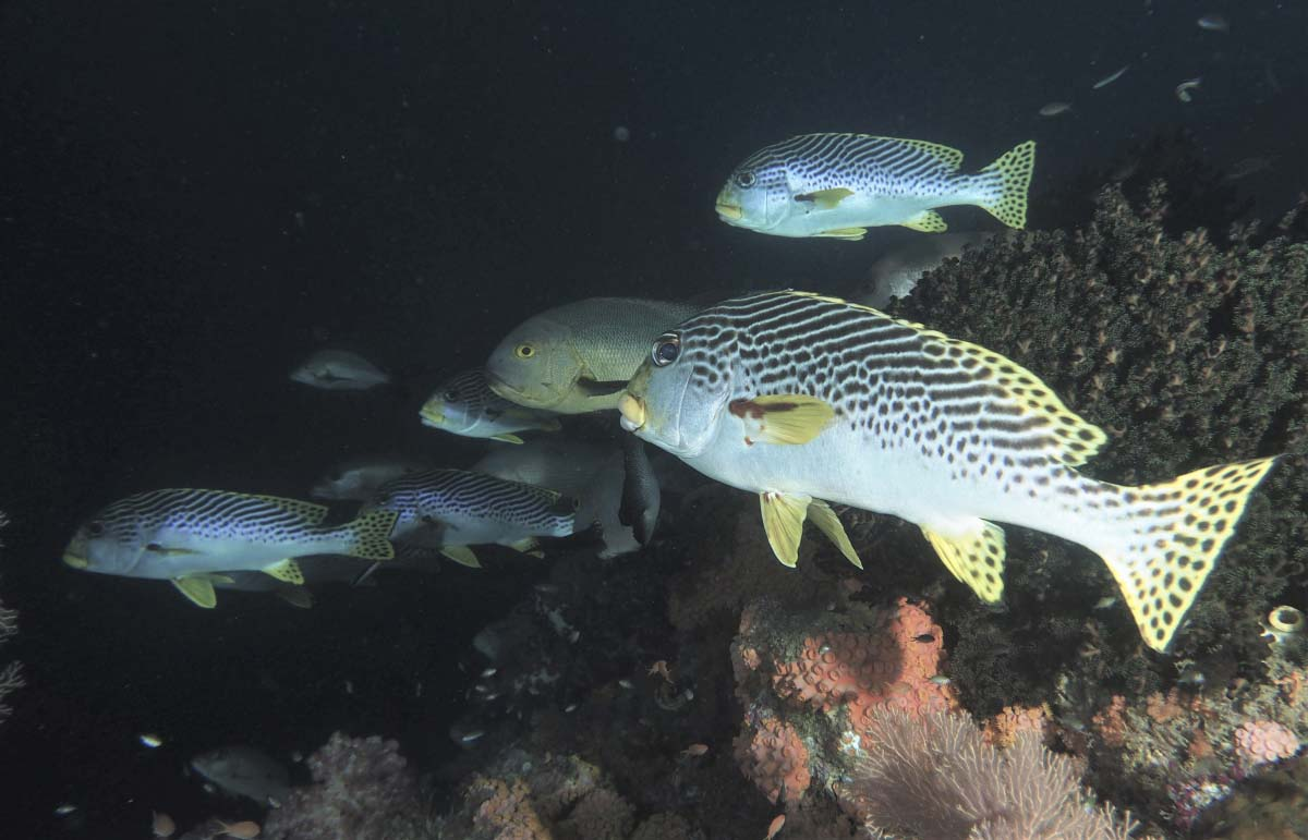 A group of Yellow-Banded Sweetlips at depth late in the day (Plectorhinchus lineatus)