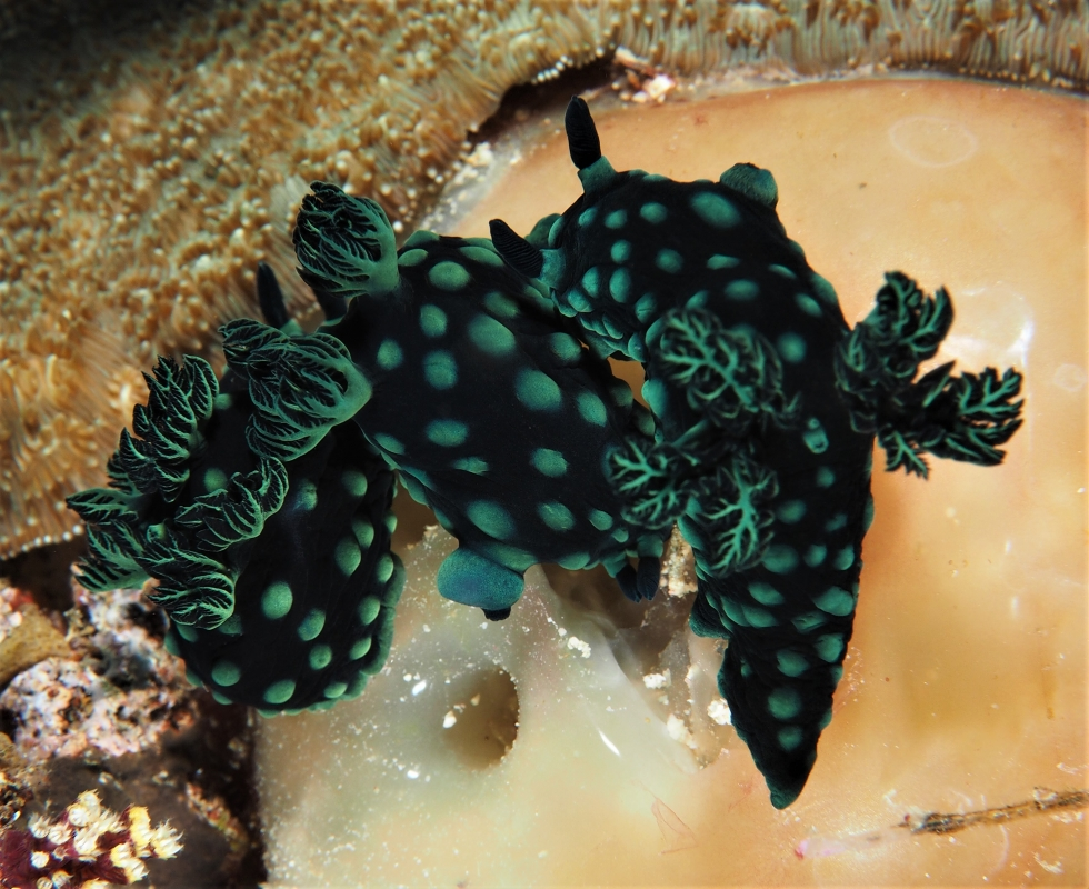 Cabbage (Patch) Nudibranch