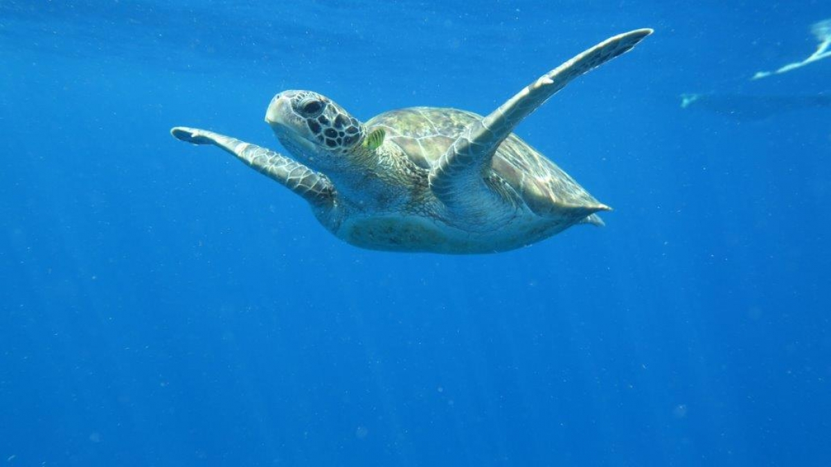 Green Turtle (Chelonia-mydas) swimming near the surface.