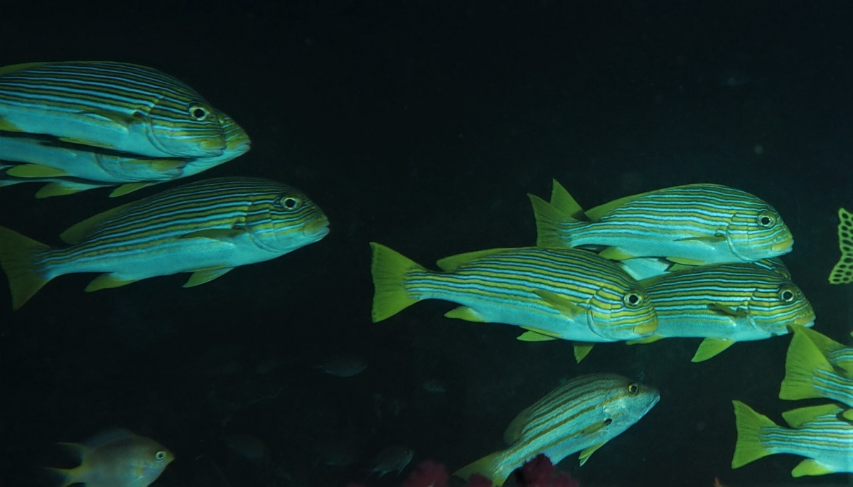 A group of Ribboned Sweetlips (Plectorhincus polytaenia)