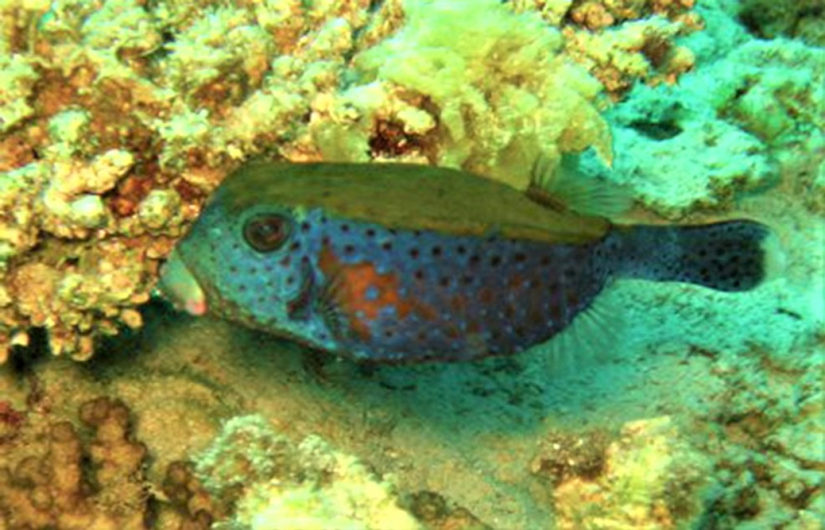 Male spotted boxfish (Ostracion meleagris)