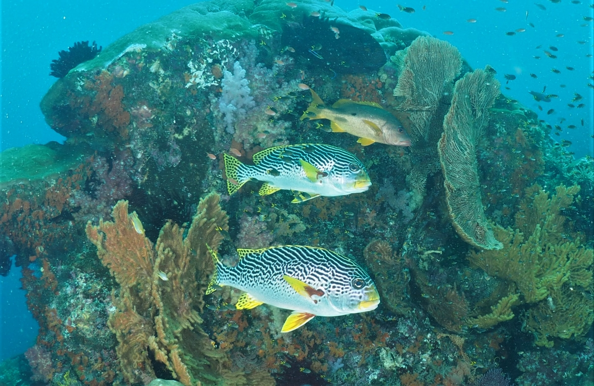 A pair of Yellow-Banded Sweetlips at depth late in the day (Plectorhinchus lineatus)