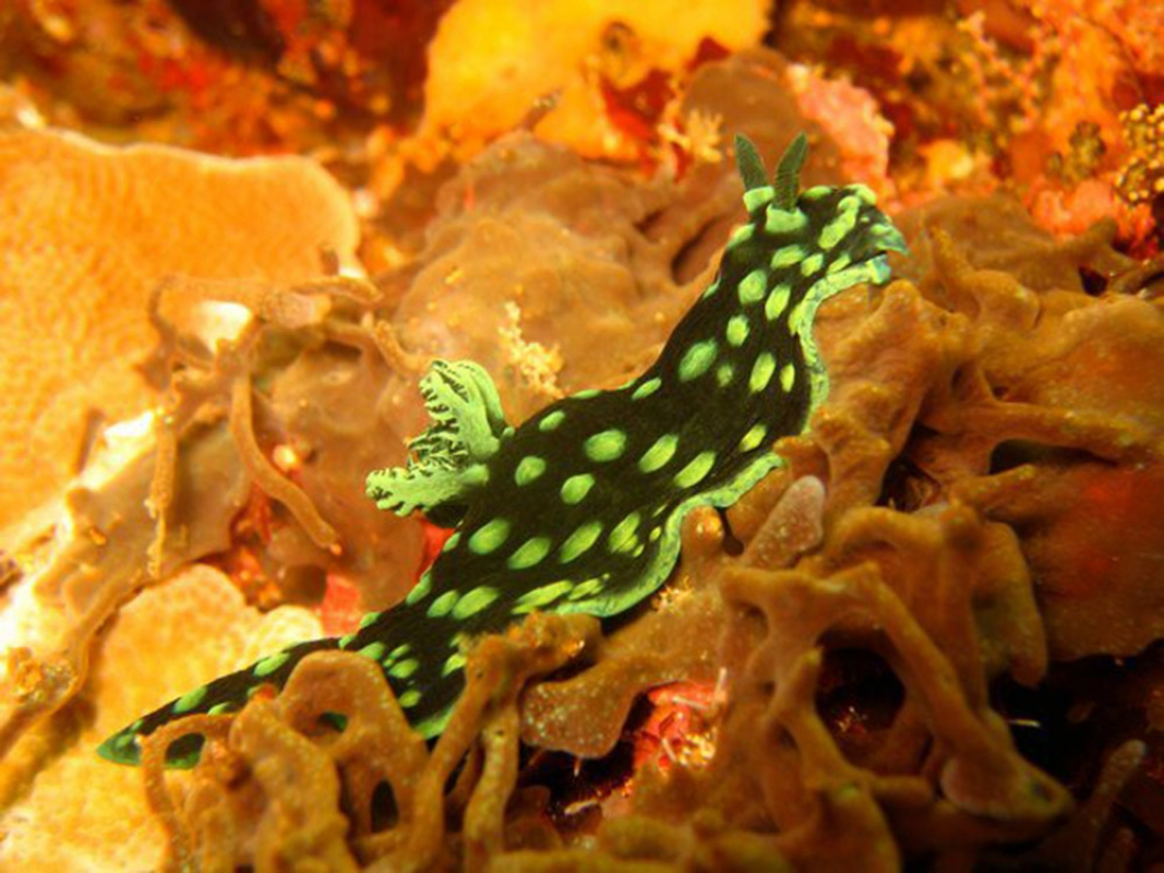 Cabbage Nudibranch