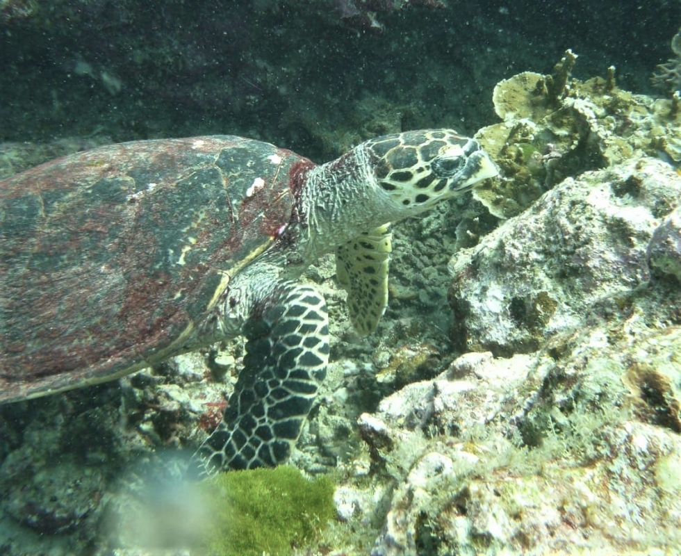 Hawksbill Turtle at The Similan Islands