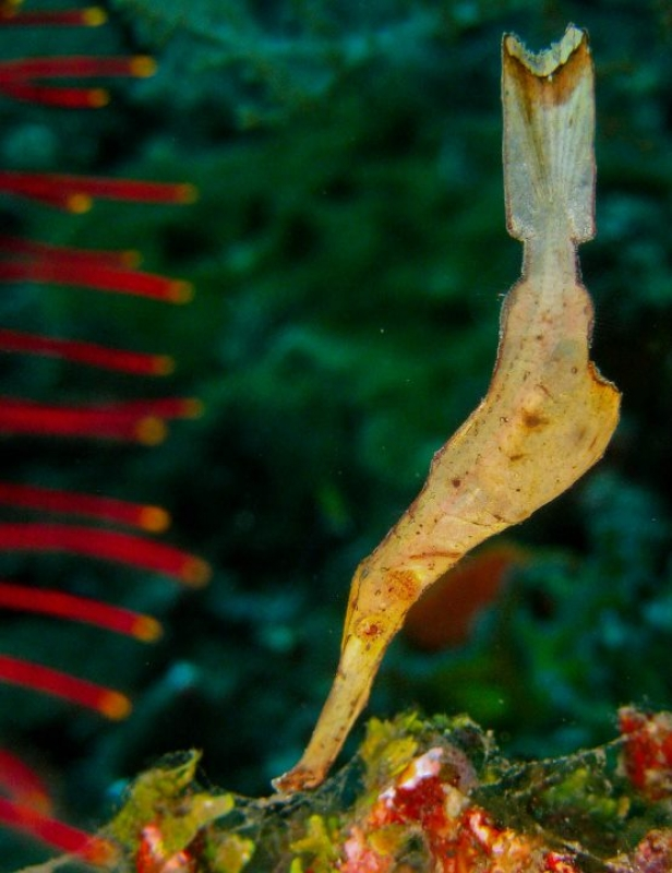 Robust Ghost Pipefish (Solenostomus cyanopterus) in Indonesia