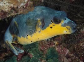 Black-Spotted Pufferfish (Arothron nigropunctatus) in Indonesia