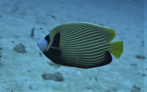 Emperor Angelfish (Pomacanthus imperator) in Thailand