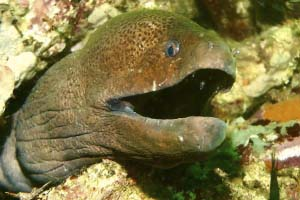 Giant Moray Eel poking its head out of a reef.