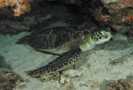 Green Turtle (Chelonia-mydas) resting under a rock.