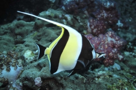 Moorish Idol swimming alone at Richelieu Rock, Thailand